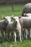 Curious lambs stock photography