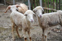 Curious lambs Stock Photography