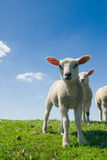 Curious Lambs In Spring Stock Image