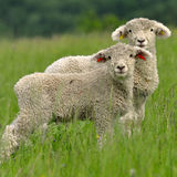 Curious lambs Royalty Free Stock Photography
