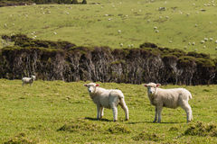 Curious lambs on meadow Stock Photography