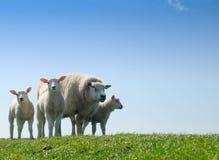 Curious lambs in spring Stock Photos