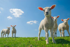 Curious lambs in spring stock images