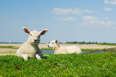 Curious lambs in spring Royalty Free Stock Photo