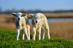Curious lambs in spring stock photography