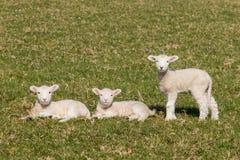 Curious lambs Stock Photo