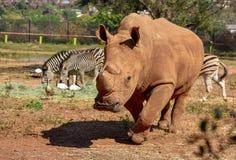 A large white rhino walking royalty free stock image