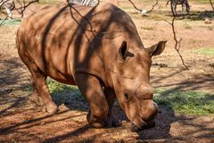 A large white rhino walking. A curious large white rhino approaches with its horn protruding from the tip of its nose Royalty Free Stock Images