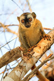 Curious lemur Royalty Free Stock Photography