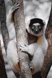 Curious lemur staring with its big orange eyes. Propithecus verreauxi, known as dancing sifaka, holding a tree and gazing Stock Image