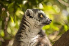Curious Lemur Stock Photography