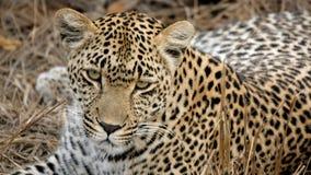 Curious Leopard Stock Photo