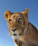 Curious lion Stock Images