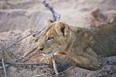 Curious lion cub in the African wilderness. A lion cub in a dry riverbed in the Sabi-Sands Game Reserve, South Africa royalty free stock photography