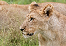 Curious Lion cub royalty free stock photography