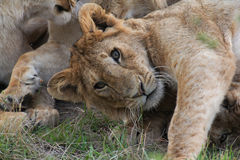 Curious lion Stock Image