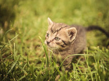 Curious little baby cat in the grass Royalty Free Stock Images