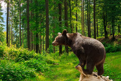 Curious little bear in the forest Royalty Free Stock Photography