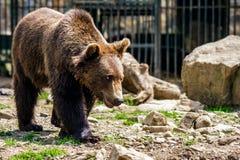 Curious little bear in rehabilitation center in Carpathians. Curious little brown bear in Carpathians. Rehabilitation center near Synevir lake in TransCarpathia royalty free stock photos