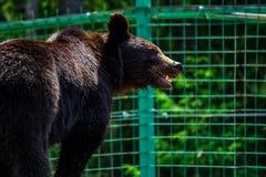 Curious little bear in rehabilitation center in Carpathians. Curious little brown bear in Carpathians. Rehabilitation center near Synevir lake in TransCarpathia stock photo