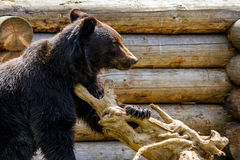 Curious little bear in rehabilitation center in Carpathians. Curious little brown bear in Carpathians. Rehabilitation center near Synevir lake in TransCarpathia royalty free stock photography