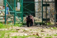 Curious little bear in rehabilitation center in Carpathians. Synevir, Ukraine - Jun 21, 2014: curious little brown bear in Carpathians. Rehabilitation center royalty free stock photos