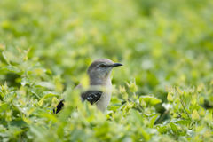Curious little bird surrounded by green leaves Royalty Free Stock Image