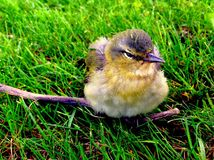 Curious Little Bird. A little bird on a twig in the grass, watching life happen around it Stock Photos