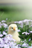 Curious Little Chick Royalty Free Stock Image