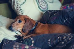 Curious little dog, the dachshund is lying on the couch. Between the pillows stock photo