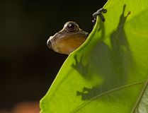 Curious little frog peeping over edge of leaf. Dendropsophus manonegra an amphibian species of the Amazon rain forest of Colombia Brazil and Ecuador, a night stock photo