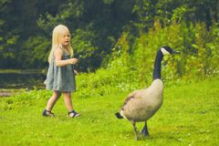 Curious little girl and cackling crane at farm. Portrait of curious little Caucasian girl wearing dress going after cackling crane holding flower at farm Stock Images