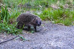 The curious little hedgehog walking along the path in the park stock image