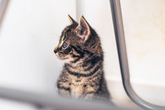Curious little kitten with big blue eyes Royalty Free Stock Photos