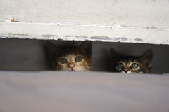 Curious Little Kittens are Hiding At The Pavement Royalty Free Stock Image