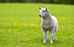 Curious Little Lamb. Aberdeenshire lamb curiously looking at the photographer Stock Photo