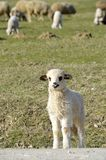 Curious little lamb Royalty Free Stock Images