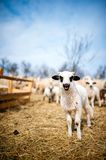 Curious little lamb singing in local farm Stock Photos