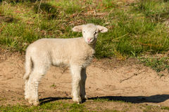 Curious little lamb standing on meadow Royalty Free Stock Images