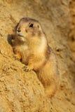 Curious little prairie dog on a sandy hill Stock Photography