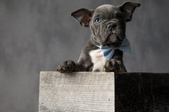 Curious little puppy wearing bowtie while sitting in a box. Curious little puppy wearing bowtie while sitting in a wooden box on grey background royalty free stock photo