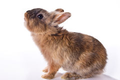 Curious little rabbit Royalty Free Stock Images