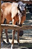 Curious little red foal Stock Photo