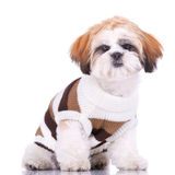 Curious little shih tzu puppy, wearing clothes Royalty Free Stock Photo