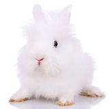 Curious little white bunny Royalty Free Stock Image