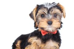 Curious little yorkie wearing bowtie is standing Stock Image