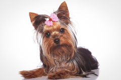 Curious little yorkshire terrier puppy dog lying down. And looking at the camera royalty free stock photos