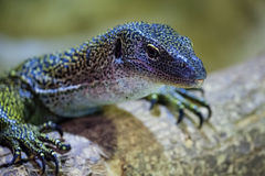 Curious lizard Stock Images