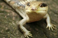 Curious lizard Stock Photography