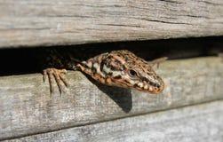 Curious lizard close-up portrait Stock Photos